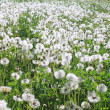 A lot of dandelions — Stock Photo