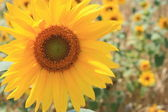 Belle closeup tournesol — Photo