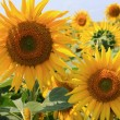 Beautiful sunflower closeup — Stock Photo #11925071