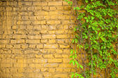 Wall and grape-vine — Stock Photo