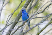 Indigo Bunting — Stock Photo