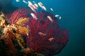 Red Gorgons (Gorgonians) — Stock Photo