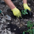 Planting in the garden - Stock Photo