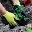 Stock Photo: Planting in garden