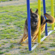 Stock Photo: GermShepherd in Agility competition