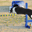 Border Collie agility test — Stock Photo