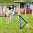 Border Collie in Agility Test — Stock Photo #10748464