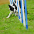 Border Collie in Agility Test — Stock Photo #10748479