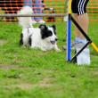 Stock Photo: Border Collie in Agility Test