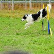 Border Collie in Agility Test — Stock Photo #10748521