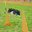 Border Collie in Agility Test — Stock Photo #10748563