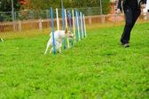 Fox Terrier in Agility Test — Stock Photo