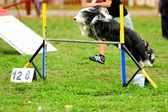 Bearded Collie en Prueba de Agility — Stock Photo