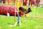 Tervueren Belgian Shepherd Agility in Testing — Stock Photo