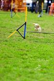 Toy Poodle in Agility Test — Stock Photo