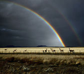 Rainbow and Guanacos — Stock Photo