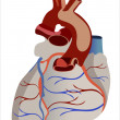 Human heart anatomy from a healthy body — Stock Vector