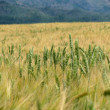 Wheat grain — Stock Photo #11825357