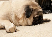 Pug Sleeping — Stock Photo