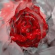 Red rose over grey background — 图库照片
