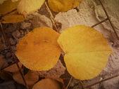 Due foglie di autunno — Foto Stock