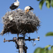 White storks in nest — Stock Photo