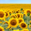 Beautiful sunflower field — Stock Photo