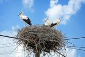White storks in nest — Stock Photo