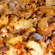Fallen Maple Leaves Covering the Ground in Fall — 图库照片