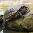 Sun bathing Turle — Stock Photo