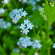 It is a lot of forget-me-nots - Stock Photo