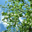 The blue sky and blossoming apple-tree - Stock Photo