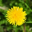 Dandelion in a grass — Stock Photo