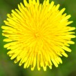 The dandelion blossomed - Stock Photo