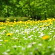 Lawn of flowers - Stock Photo