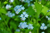 It is a lot of forget-me-nots — Stock Photo