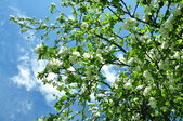 The blue sky and blossoming apple-tree — Stock Photo