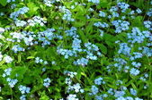 It is a lot of forget-me-nots on a lawn — Stock Photo