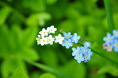 White and blue forget-me-nots — Stock Photo