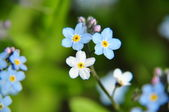 Three forget-me-nots — Fotografia Stock