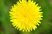 The dandelion blossomed — Stock Photo