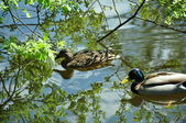 Two ducks in a pond — Stock Photo