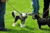 Twee hondjes op een tentoonstelling voldaan — Stockfoto