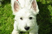 White doggie of breed a white terjer at an exhibition — Stock Photo