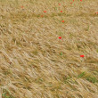 Red poppies in contrast in the field of yellow wheat spikes — Stock Photo #11095970