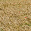 Red poppies in contrast in the field of yellow wheat spikes — Stock Photo