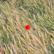 Red poppies in contrast in the field of yellow wheat spikes — Stock Photo #11095971