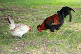 Proud Rooster with red crest on green grass and a chicken — ストック写真
