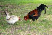 Yeşil çim ve bir tavuk kırmızı taç ile gurur horoz — Stok fotoğraf