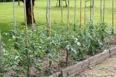 Trädgård för odling av grönsaker och tomatsås — Stockfoto